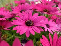 Purple Daisy. Stock Photos