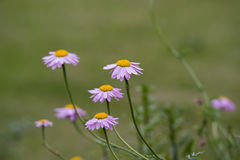Purple Daisy Flower Stock Images