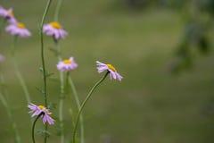 Purple Daisy Flower Royalty Free Stock Photo