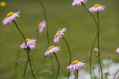 Purple Daisy Flower Stock Photography