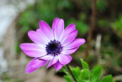Purple Daisy flower. Lonely purple Daisy flower in the garden Stock Photos