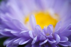 Purple daisy flower macro Royalty Free Stock Images