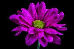 Purple daisy flower macro. Closeup details on black background stock images
