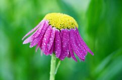 Purple daisy flower after the rain Stock Photo