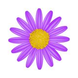 Purple Daisy Flower on A White Background Stock Photos