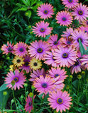Purple daisy flowers Stock Image