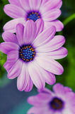 Purple daisy flowers Stock Image