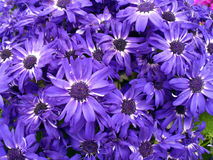 Purple daisy flowers Stock Photography