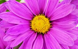 Purple daisy flowers closeup. Stock Photography