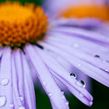 Purple daisy flowers with raindrops Stock Photo