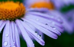 Purple daisy flowers with raindrops Stock Photos