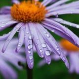 Purple daisy flowers with raindrops Stock Image