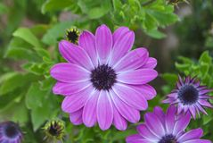 Purple Daisy flowers. Some purple Daisy flowers in the garden Royalty Free Stock Images
