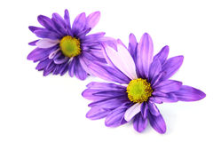 Purple Daisy flowers Stock Photos