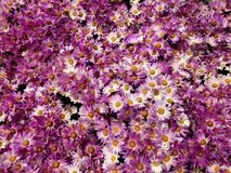 Purple daisy flowers with white in a botanical garden, background and texture. Nature and botany, flora and natural life, flower petals with intense colors for stock photography