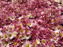Purple daisy flowers with white in a botanical garden in spring season, background and texture. Nature and botany, flora and natural life, flower petals with stock image