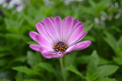 Purple daisy Royalty Free Stock Photos