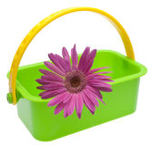 Purple Daisy in Green Basket Stock Photo