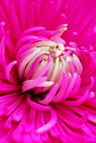Purple daisy macro Royalty Free Stock Image