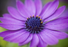 Purple Daisy Royalty Free Stock Image