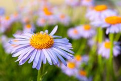 Purple daisy (marguerite) in the garden Stock Photos