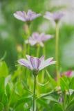 Purple Daisy on a meadow Stock Photos
