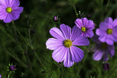 Purple daisy. A particular stood out purple daisy in the meadow Stock Image