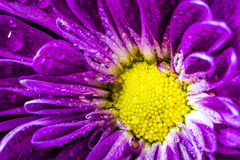 Purple Daisy after the Rain. Image of a purple and yellow daisy after it rained royalty free stock photo