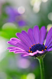 Purple Daisy. In sun with bokeh Royalty Free Stock Photo