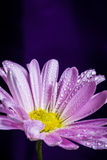 Purple Daisy with Water Drops Royalty Free Stock Photo