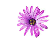 Purple daisy on white Stock Images