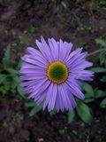 Purple daisy witha yellow-green center Stock Photo