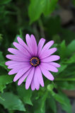 Purple daisy with yellow pollen Stock Photos