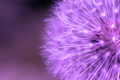 Free Purple Dandelion. Royalty Free Stock Photos - 126678