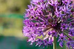 Purple dandelion stock photography