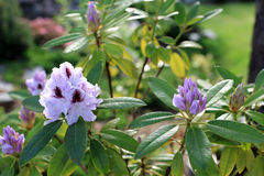 Purple with a dark center blooming rhododendron. Shrub stock photo