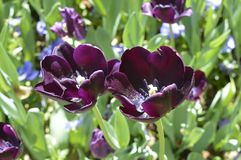 purple dark tulips. Royalty Free Stock Photos
