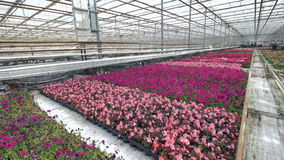 Purple and dark violet flowers grow in a greenhouse. A long row of purple and violet blooming flowers in a large nursery stock footage