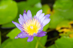 Purple day blooming water lily amid beautiful green lily pads Royalty Free Stock Images