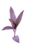 Purple dayflower Royalty Free Stock Image