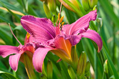 Purple daylily Stock Images