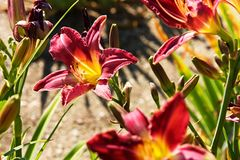 Purple daylily Royalty Free Stock Photos