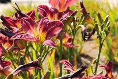 Purple daylily. Blooms in the garden on a sunny day Stock Image