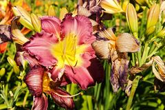 Purple daylily Stock Photos