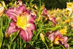 Purple daylily Royalty Free Stock Photo
