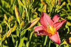 Purple daylily Stock Photo