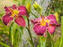 Purple daylily with a corrugated edge with drops of water Stock Image