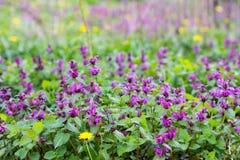 purple dead-nettle Stock Photo