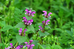 Purple dead-nettle herb blooming. Flowering, purple dead-nettle plant - Lamium purpureum stock photography