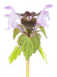 Purple dead-nettle isolated on white background. Medicinal and invasive plant Stock Photo